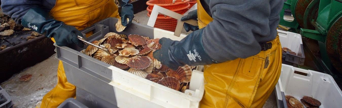 Pêche de la Coquille Saint-Jacques